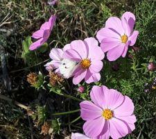 Il reste encore des fleurs pour les papillons en automne
