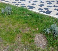 Pieds de lavande plantés.... le 3e n'a pas pris :(