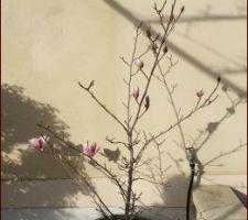 Le magnolia fleurit avec 1 mois d'avance...