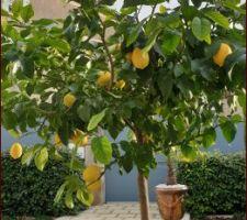 Début février, les citrons sont bien là...