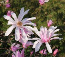 Boutons roses et fleurs blanches, magnolia loebneri Leonard Messel
