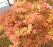 Couleur et forme des feuilles de l'érable palmatum