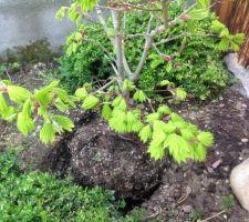 Couleur et forme des feuilles de l'érable Shirasawanum Aureum