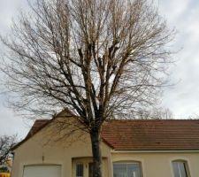 Abattage du chêne (avril 2020).