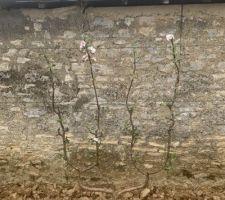 Les pommiers fleurissent