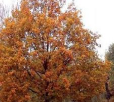 Arbres - Chêne Pédonculé