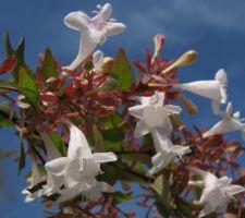 Haie - Abelia a grandes fleurs