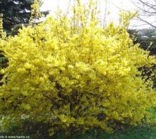 Haie - Forsythia Intermedia Arnold Giant