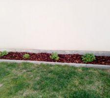 Hortensias plantée en autonome 2018
