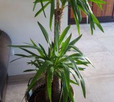 Mon beau yucca