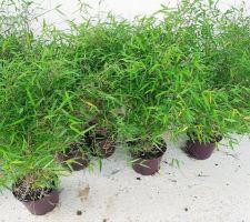 Hier, nous avons planté notre haie de bambous du fargesia augustissima. Vivement dans 5 ans que notre vis à vis sera caché