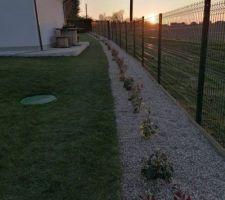 Haie finie : photinia carré rouge, laurier du Portugal, eleagnus viveleg et eleagnus ebbingei compactage. Gravillons au sol avec volige