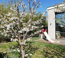 Cerisier et mirabellier en fleurs