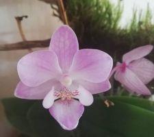 Orchidée refleurissant