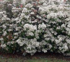 Photinias en fleurs