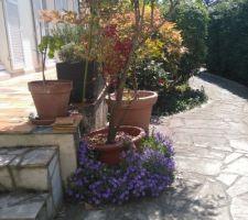 Terrasse devant avec campanule et Nandina et campanule