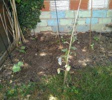 Plantations de Courge butternut et courges à confiture