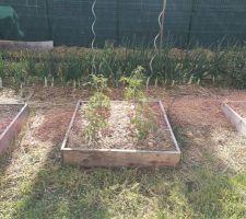 Carré potager avec tomates planté le 25 avril