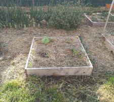 Carré potager avec plans de courgettes planté le 25 avril