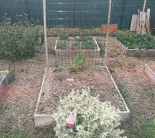 Carré potager avec concombre et son grillage, arbuste Teucrium pour les abeilles