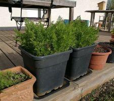 Deux pots pour les carottes et à gauche pot terre cuite avec aneth