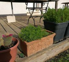 Pot terre cuite avec aneth et petit cactus