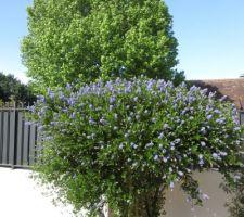 Ceanothe rhannacées en fleur adoré par les abeilles