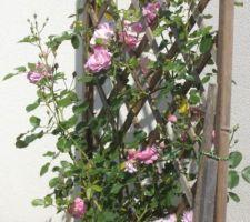 Cet autre rosier  a enfin son treillis  pour pouvoir grimper   posé pendant le confinement  cette fois avec des poteaux en bois  il est placé devant le mur de clôture dans le jardin!