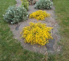 Et pour finir cette série d ephotos les génestias,  liserons en fleurs   le sphotos ont chargé a une vitesse record ce fut un plaisir que de les telecharger ce matin