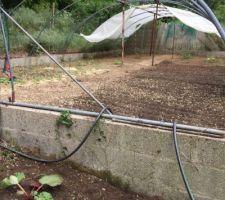 La rhubarbe au premier plan et derrière la serre