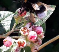 Bourdon sur fleurs de cotoneaster franketii