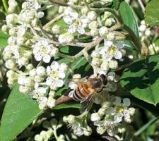 Abeille sur fleurs de cotoneaster lacteus