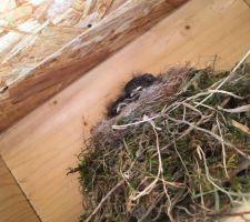 Sauvetage oisillons queue rousse. Retour dans le nid
