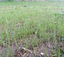 Le gazon pousse enfin après 5 semaines de sécheresse et de stress !