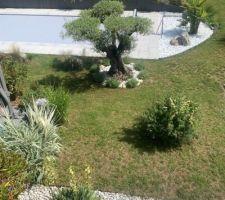 La piscine et l'olivier pris de la terrasse de la maison
