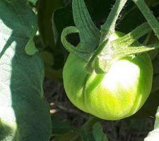 Bientôt de bonnes tomates
