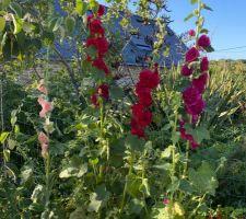 Mes jolies roses trémières doubles