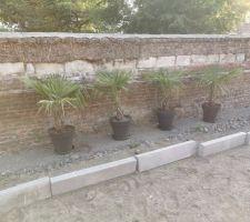 Trachycarpus en attente !!