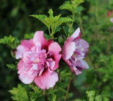 Tout frisotté, cet hibiscus syriacus 'Freedom' fleurit début septembre, quand les autres se terminent