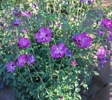 Coloris original pour cet hibiscus syriacus 'Purple ruffle', encore fleuri en septembre