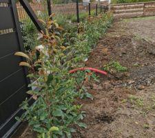 Photinias plantés