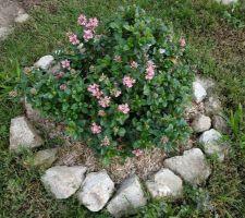Mon escalonia qui refait des fleurs roses