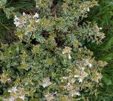 J'adore la teinte des feuilles. Il fera des fleurs blanches.