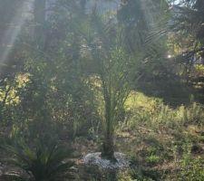 Palmiers en place ils ont bien pris je suis contente l?hiver ici étant doux on devrait pas les voir souffrir des premières gelées et au printemps prochain on aménagera le jardin donc à suivre