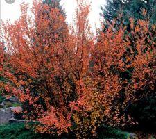 Un amélanchier en automne