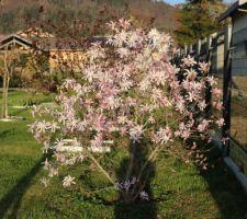 Magnolia Loebneri Leonard Messel (boutons roses et fleurs blanches sur le dessus)