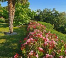Haie de lauriers roses (18) + palmier double