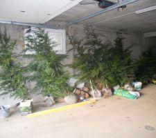 11 cyprès de   de 2m en attente de plantation... un soir de la semaine probablement !!!