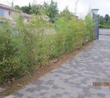 les bambous poussent bien