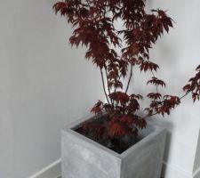Voici le premier arbuste que nous replanterons ! Il s'agit d'un érable du japon, j'adore sa couleur pourpre